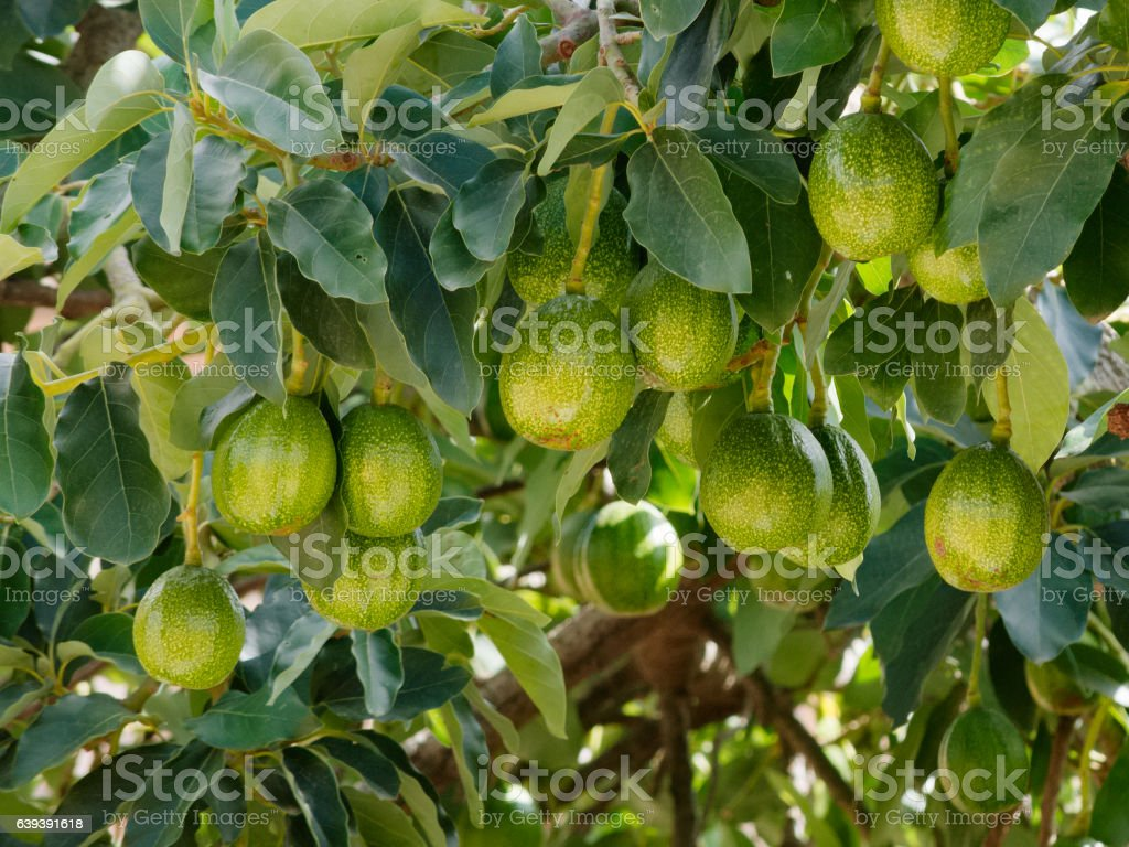 close up ripe avocados hanging on branch with leaves stock photo