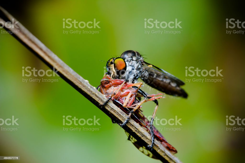 Close up robber fly stock photo