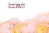 istock Close up rose flower isolated on white background. 498170871