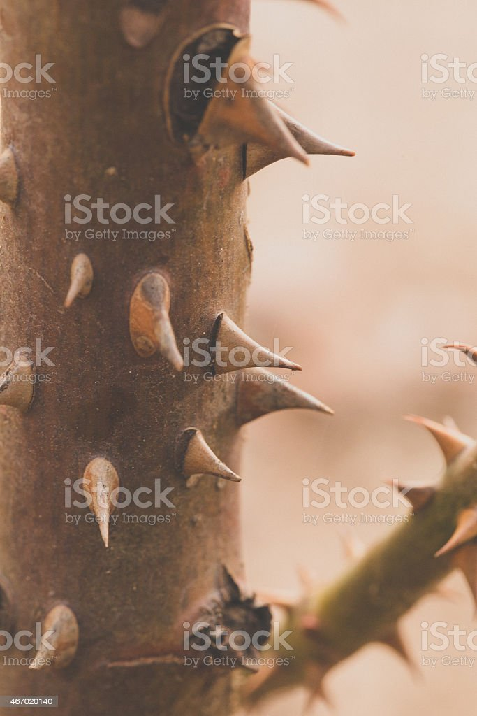 Close up Rose Thorn stock photo