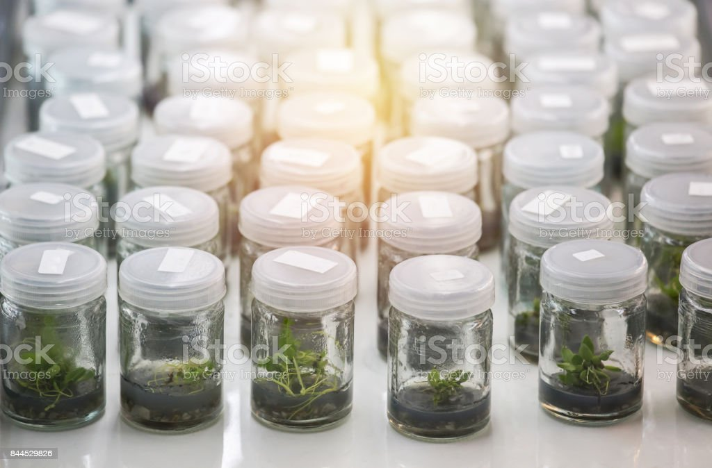 Close up row of glass bottle plant tissue culture in laboratory stock photo