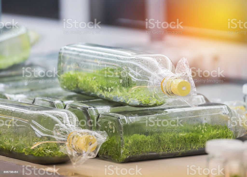 Close up row of glass bottle plant tissue culture stock photo