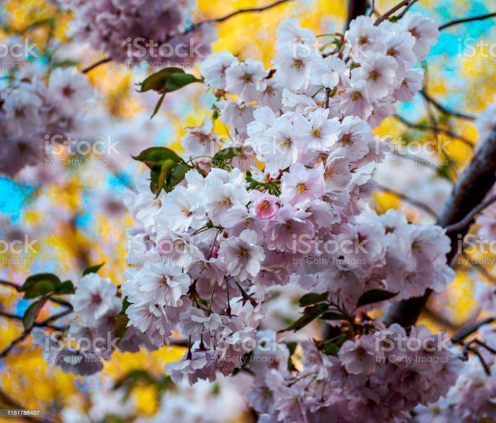 Close Up Sakura Flowers On Blurred Bokeh Background Cherry