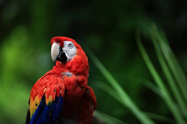 close up scarlet macaw parrot over green background - green winged macaw stock photos and pictures