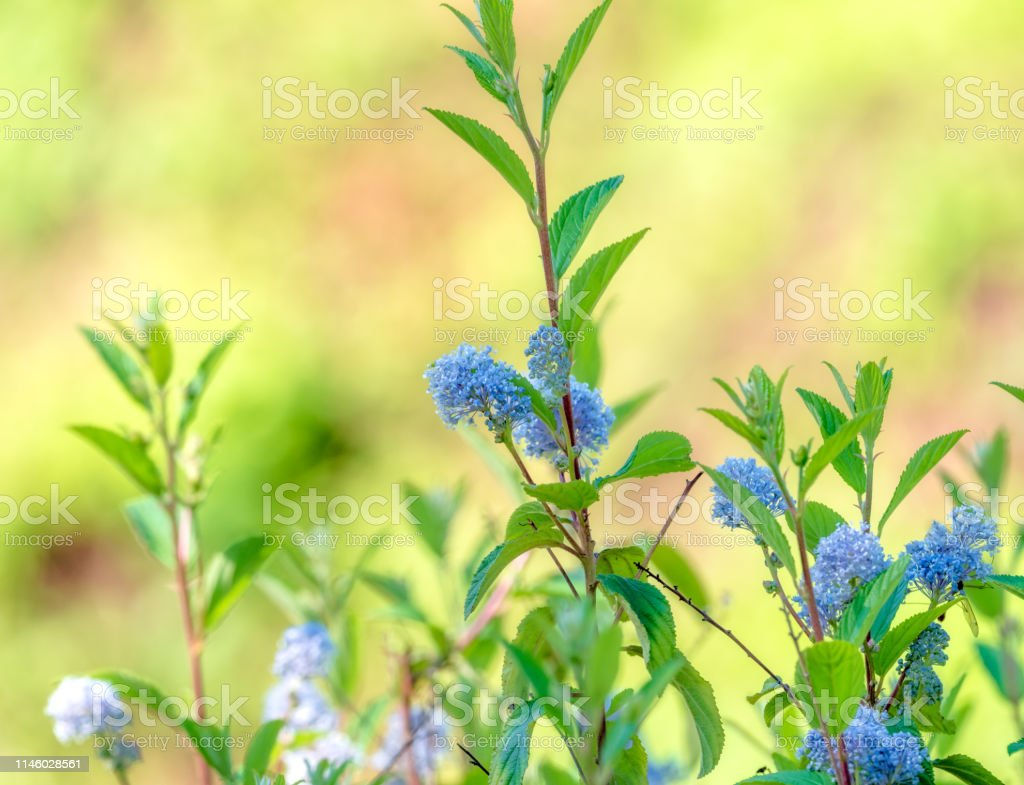 Close Up Scene With Natural Plant New Jersey Tea Ceanothus Americanus With Defocused Background Stock Photo Download Image Now Istock