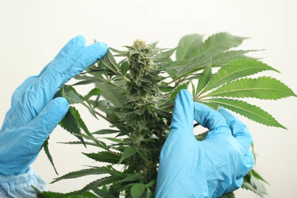 close up scientist hand gloves checking hemp plant stock photo