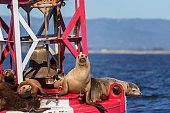 Sea lions gather on a buoy in Monterey Bay.