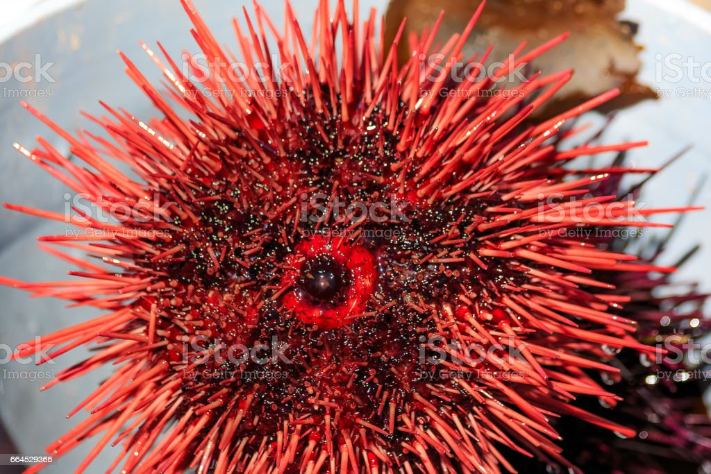 Close up sea urchins on sale at the harbor in Half Moon Bay California royalty-free stock photo