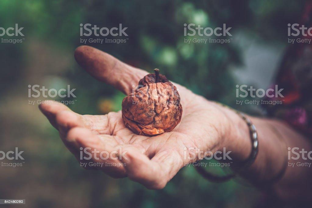 Close Up Senior Woman Hand Holding Rotting Apple stock photo