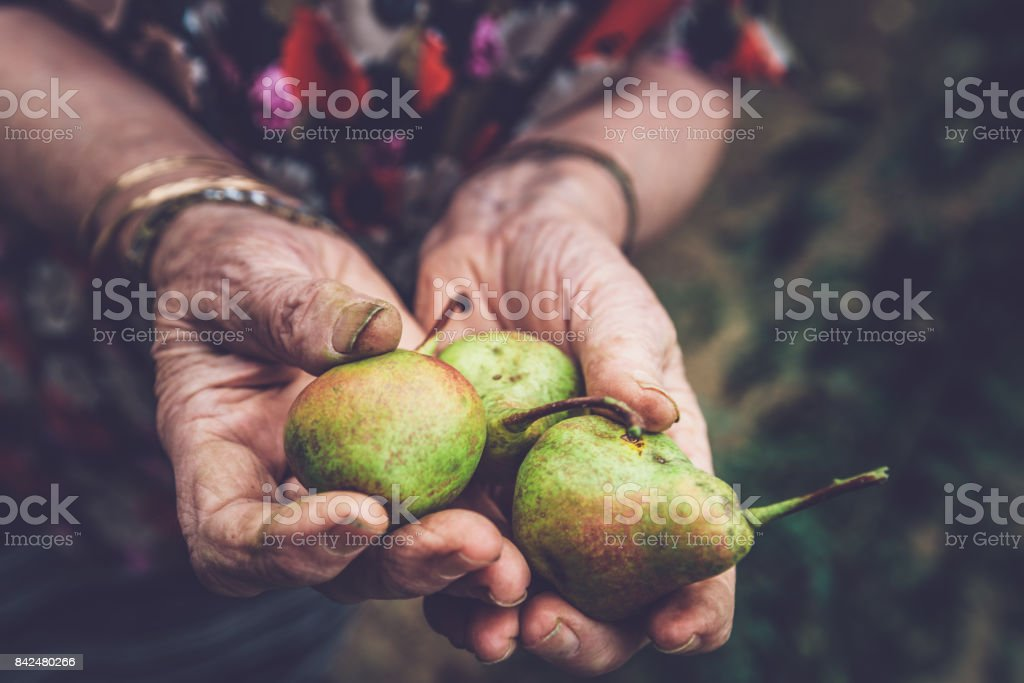 Close Up Senior Woman Hands Holding Ripe Pears stock photo