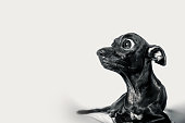istock Close up shock face with some infomation of black dog 637544538