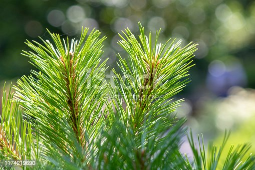 Close up shoot of needle-shaped leaves of scots pine tree.