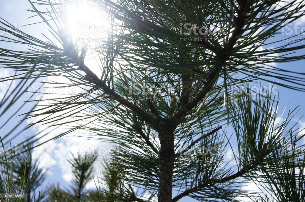 Close up shot looking through ponderosa pine needles at the sun stock photo