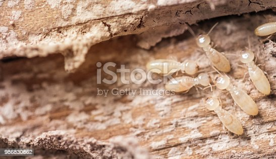 istock Close up shot, macro white ants or termites on decomposing wood. As an enemy of wooden houses as well. 986830862