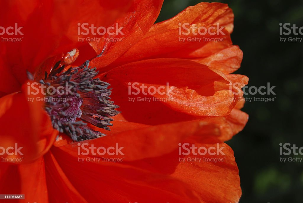Close up shot of a red poppy on a black background royalty-free stock photo