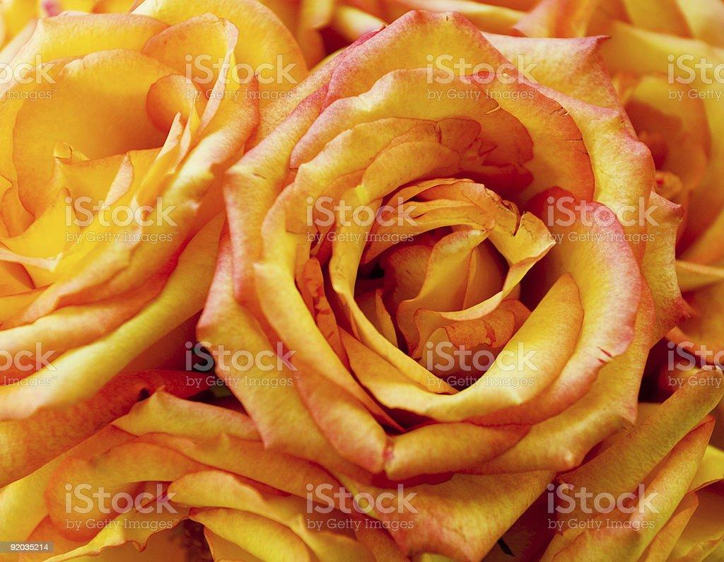 Close Up Shot of Beautiful Roses royalty-free stock photo