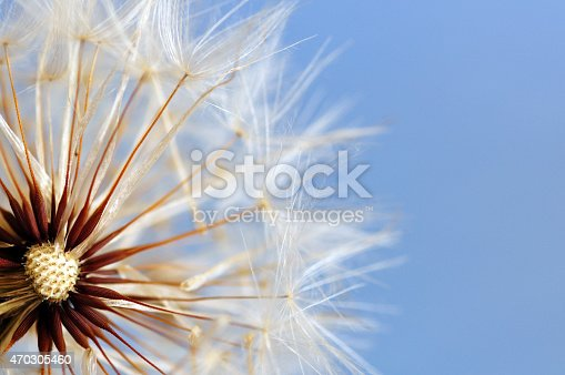 istock Close up shot of dandelion with soft focus 470305460