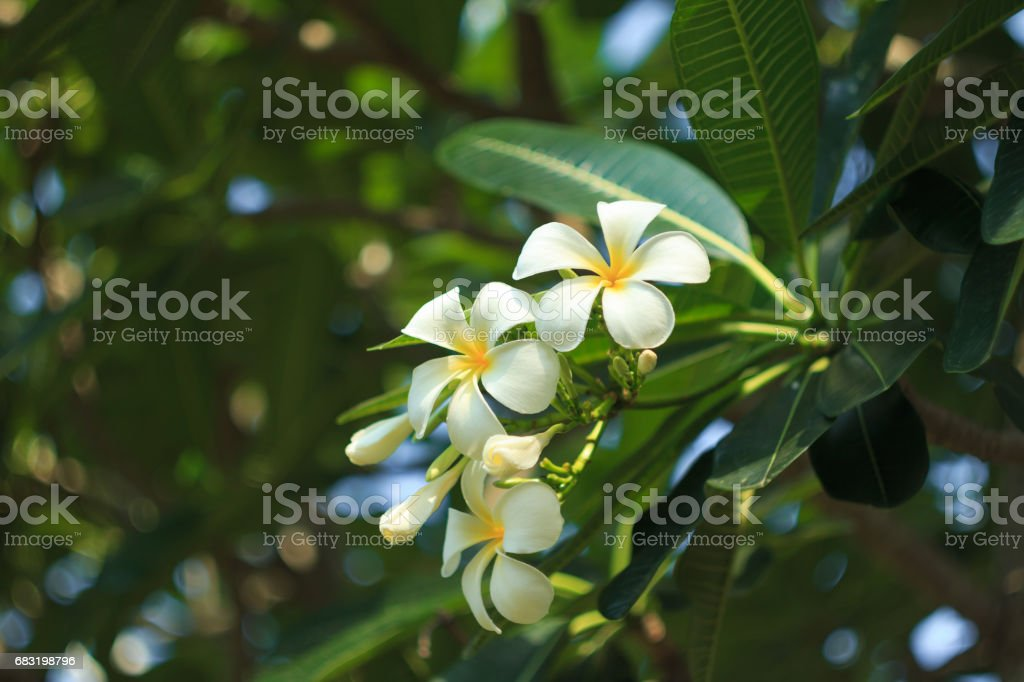 Close up shot of Frangipani flowers troppical flower 免版稅 stock photo
