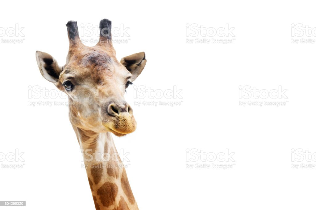 Close up shot of giraffe head isolate on white background with clipping path stock photo