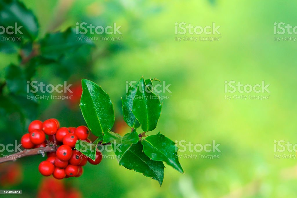 Close up shot of holly branch leaves and red berries stock photo
