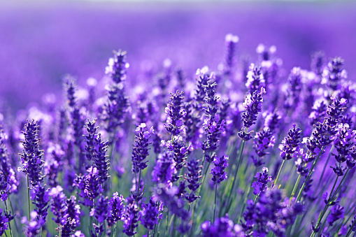 istock close up shot of lavender flowers 829506188