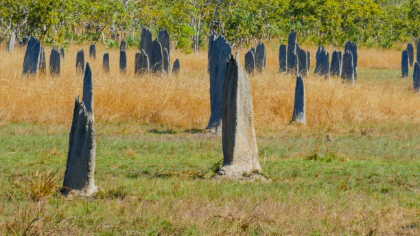 close-up shot van magnetische termietenheuvels op litchfield - termietenheuvel stockfoto's en -beelden
