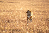 Close up shot of male lion walking in savanna at sunrise, Maasai Mara national reserve