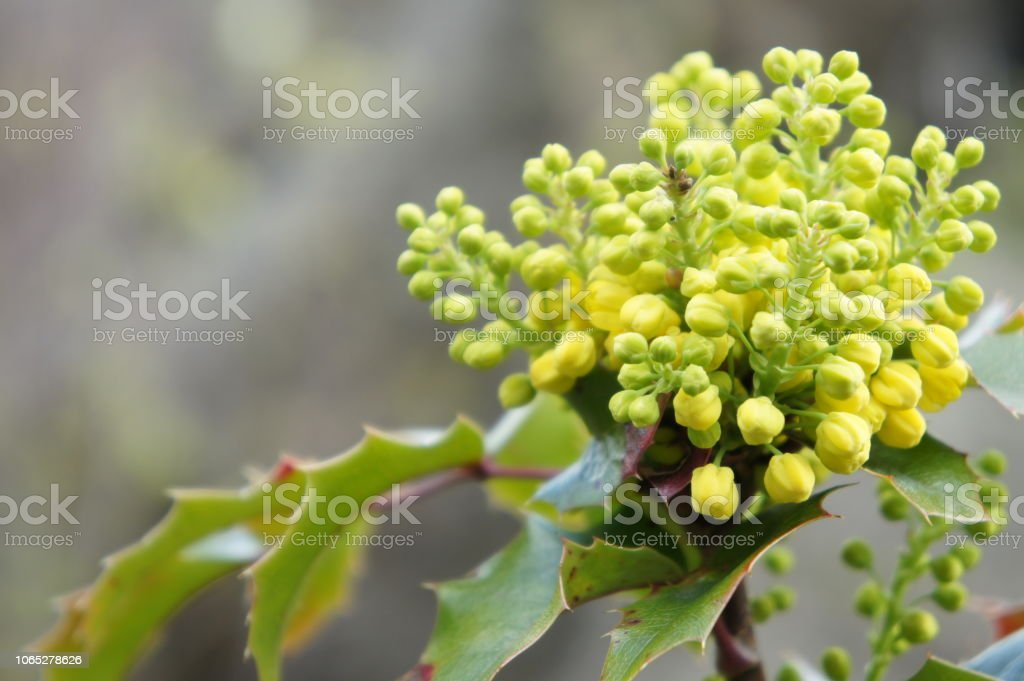 Close up shot of Oregon Grapes in springtime stock photo