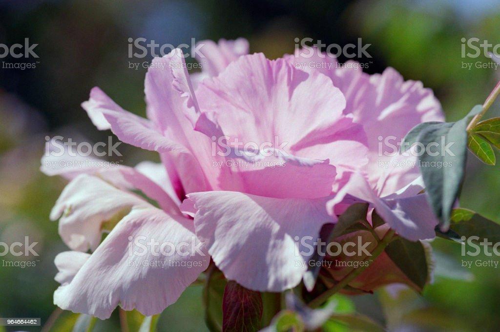 Close up shot of pink peony. Shot on film royalty-free stock photo