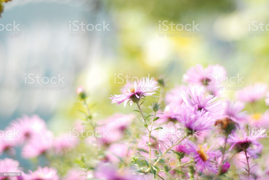 Close up shot of purple flowers asters stock photo