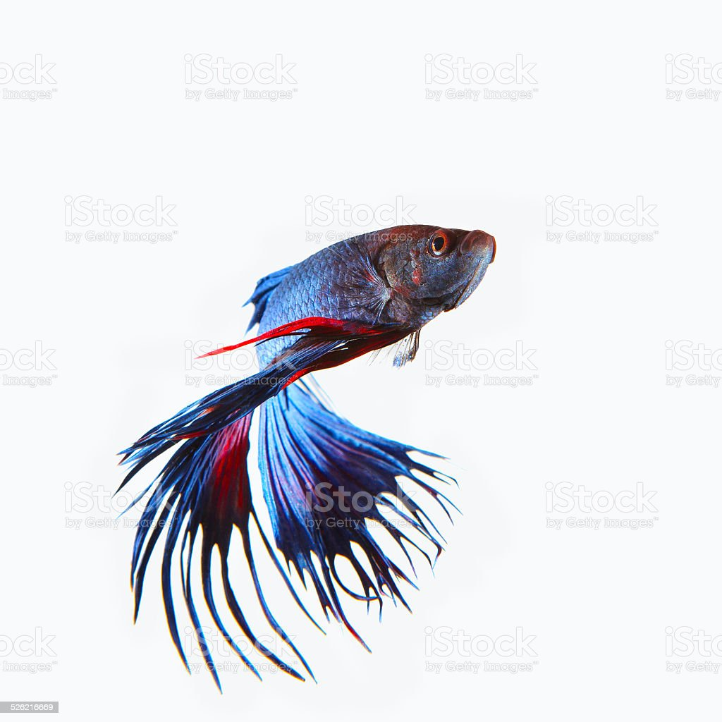 close up siamese blue  crown tail fighting betta fish stock photo