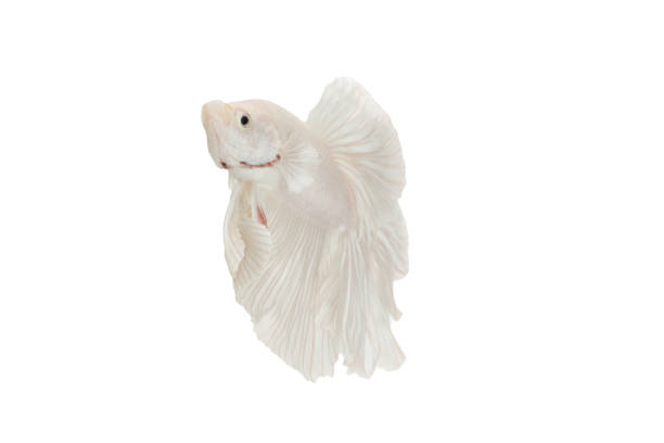 close up siamese fighting fish betta splendens (halfmoon white dragon betta ) isolated on black background. long fins and tail.  action fish splendens. - dazzlingly stock pictures, royalty-free photos & images