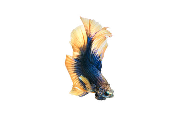 close up siamese fighting fish betta splendens (halfmoon blue and yellow dragon betta ) isolated on white background. long fins and tail.  action fish splendens. - dazzlingly stock pictures, royalty-free photos & images