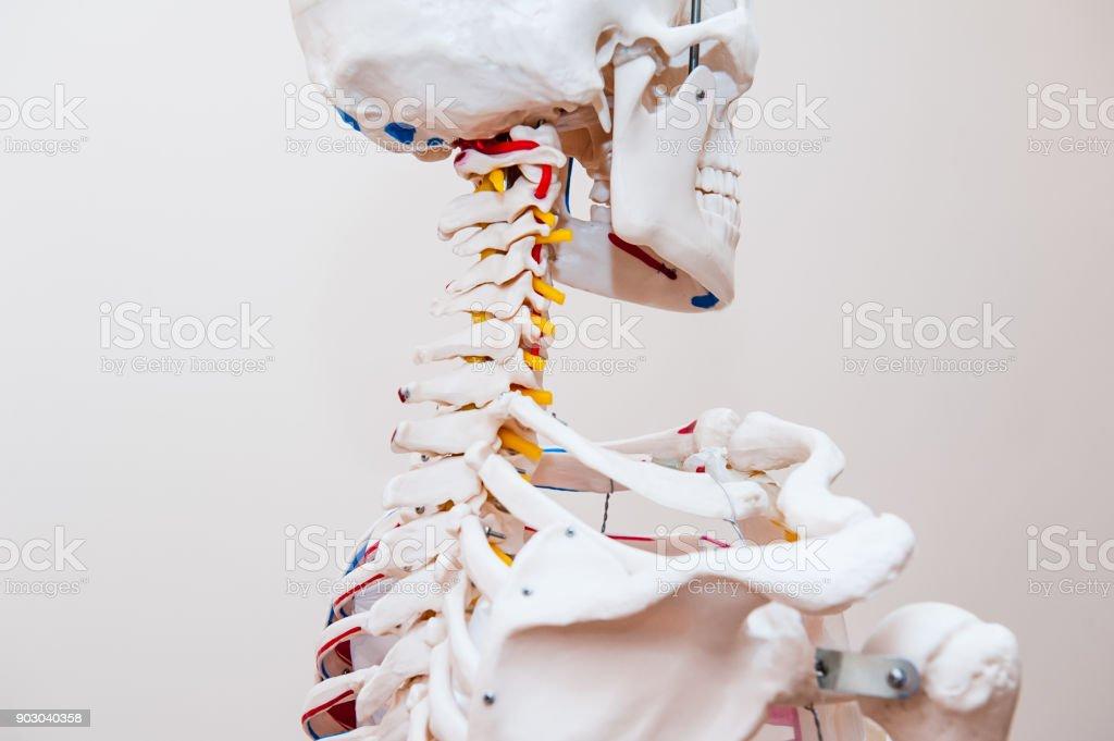 Seite Menschlichen Skelett Halswirbelsäule Anatomische ...
