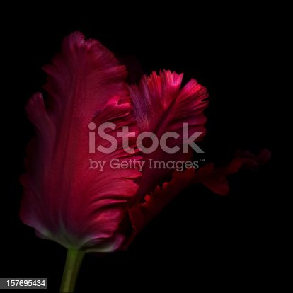 A red parrot tulip isolated against a background.