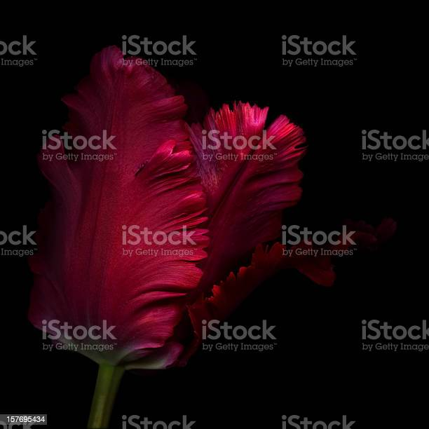 Close up side view of a single red parrot tulip picture id157695434?b=1&k=6&m=157695434&s=612x612&h=fi7gy9irh7tjt k1rjbrfs95t9u1bmznom40yxsbpya=