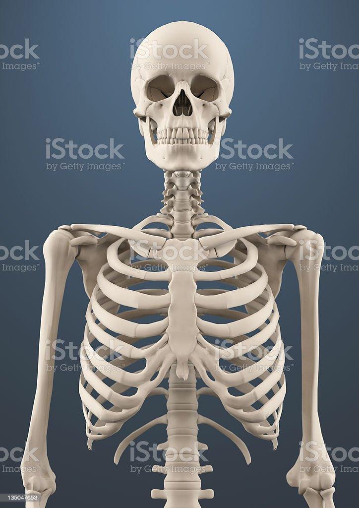 Close up skeleton royalty-free stock photo