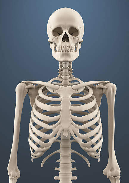 Close up skeleton Upper portion of human skeleton, 3d render human rib cage stock pictures, royalty-free photos & images