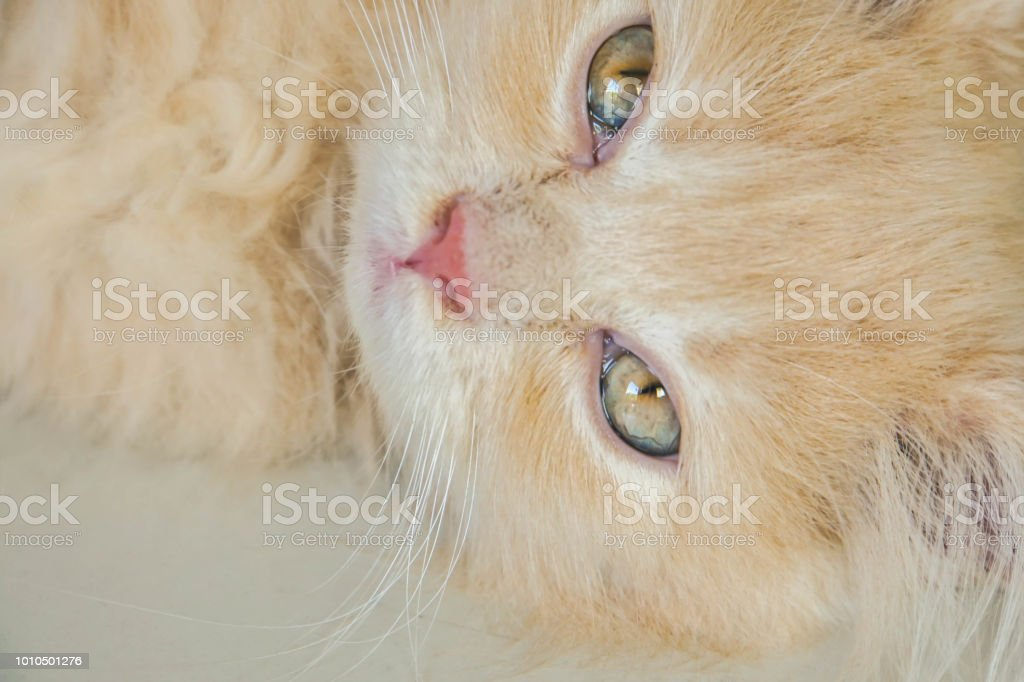 close up sleepy face of cute pastel Persian cat lying on the house floor stock photo
