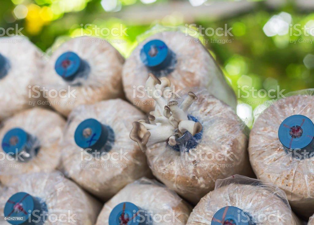 Close Up Small Bhutan Oyster Mushroom In Sawdust Plastic Bag