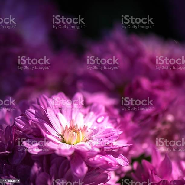 Close up small dahlia flower picture id472980546?b=1&k=6&m=472980546&s=612x612&h=zlt2omxi45cykga pt8fouhwbj3 hny9ipbsmyxisck=