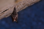 istock Close up small sleeping horseshoe bat covered by wings, hanging upside down on top of cold natural rock cave while hibernating. 1136893717
