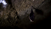 istock Close up small sleeping horseshoe bat covered by wings, hanging upside down on top of cold natural rock cave while hibernating. 1136893826
