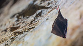 istock Close up small sleeping horseshoe bat covered by wings, hanging upside down on top of cold natural rock cave while hibernating. 1217000335