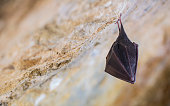 istock Close up small sleeping horseshoe bat covered by wings, hanging upside down on top of cold natural rock cave while hibernating. 1217000336