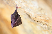 istock Close up small sleeping horseshoe bat covered by wings, hanging upside down on top of cold natural rock cave while hibernating. 1217000386