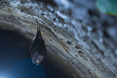 istock Close up small sleeping lesser horseshoe bat covered by wings, hanging upside down on top of cold arched brick cellar and hibernate. 1218534614