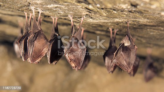 Close up group of small sleeping horseshoe bat covered by wings, hanging upside down on top of cold natural rock cave while hibernating. Wildlife photography, creative lighting using flash lights.