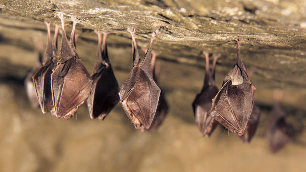 Close up small sleeping lesser horseshoe bat hanging upside down on picture id1182723720?b=1&k=6&m=1182723720&s=612x612&w=0&h=2fgowc24askf9mbnftjekmn2utqmky b t1k38dslhu=