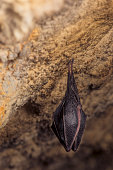 istock Close up small sleeping lesser horseshoe bat (Rhinolophus hipposideros)  hanging upside down on top of  cave 1182723805